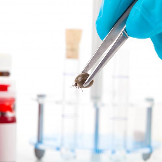 Fästing i pincett i ett laboratorium