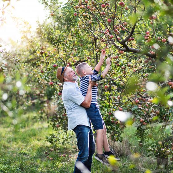 En man lyfter ett barn som plockar äpplen från ett träd