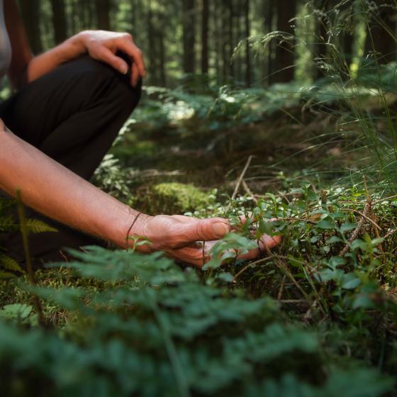 Hand som rör vid blåbärsris i skogen