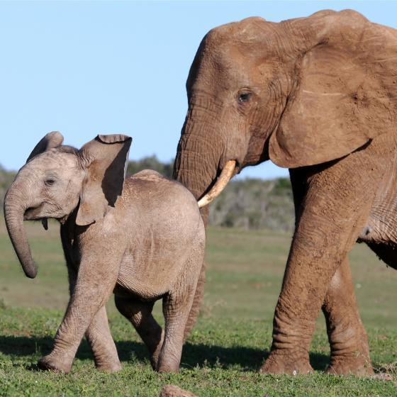 Elefantunge som blir knuffad framåt av en annan elefant