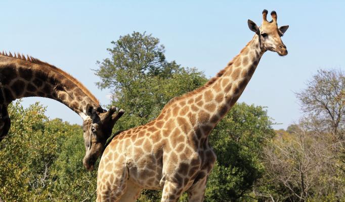 Giraff som blir knuffad av en annan giraff