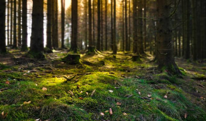 Skogsglänta med träd och mossa
